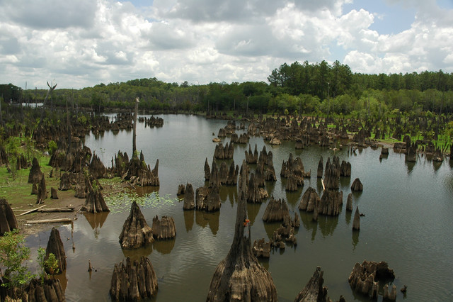 Cypress stumps dot the landscape at Dead Lakes